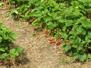 organicstrawberries